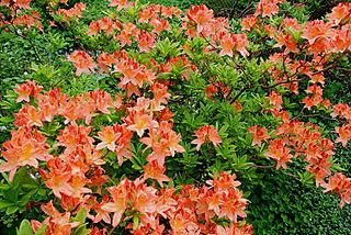 Orangerhodo