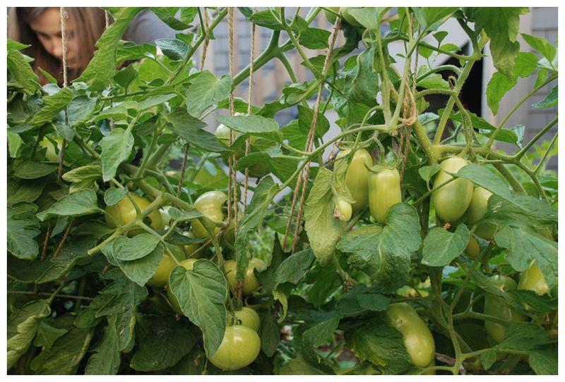 Lisatomatoes