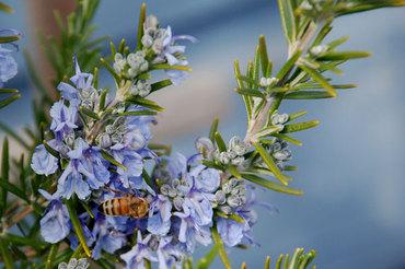 Rosemarybee