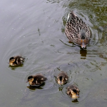 Swimmingducklings
